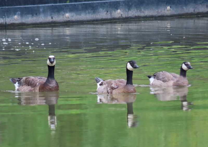 North Holland Goose (Branta hybrid) pair with young