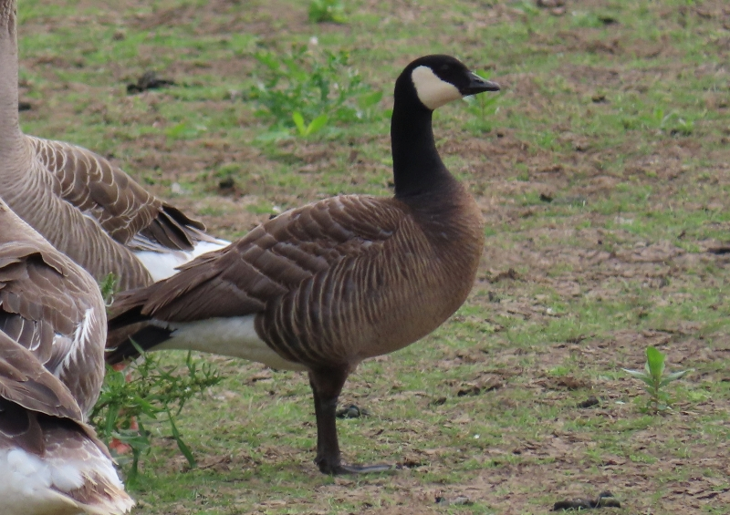 North Holland Goose (Branta hybrid) occidentalis fulva lookalike
