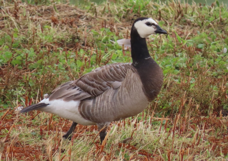 North Holland Goose (Branta hybrid) leucopsis lookalike