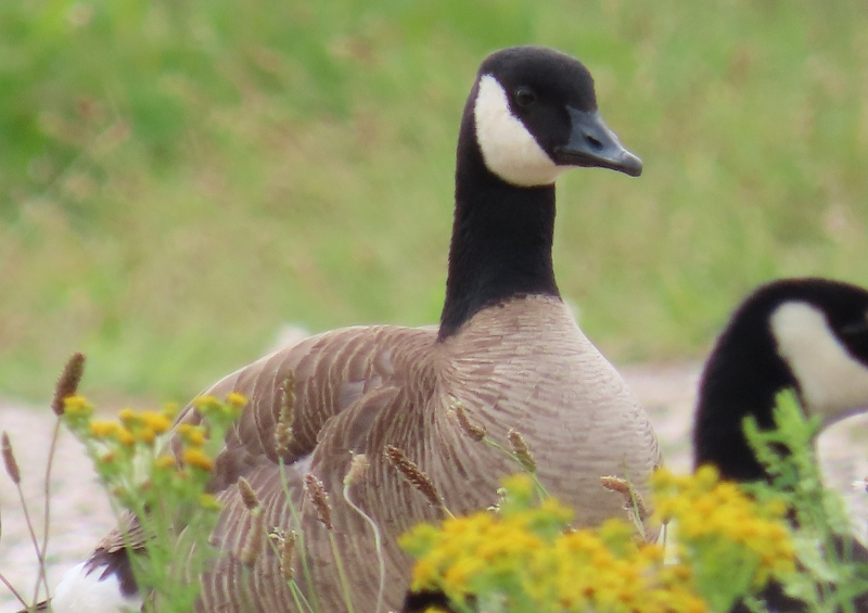 North Holland Goose (Branta hybrid) parvipes taverneri lookalike