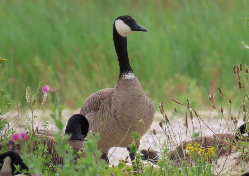 North Holland Goose (Branta hybrid)